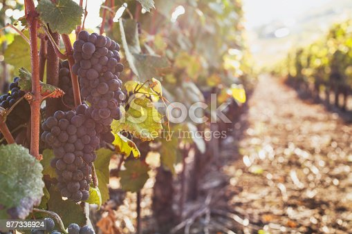 istock ripe grape for wine on the branch 877336924