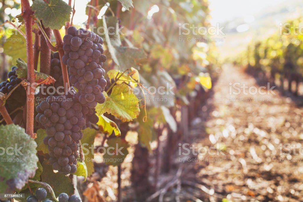 reife Trauben für den Wein auf dem Ast – Foto