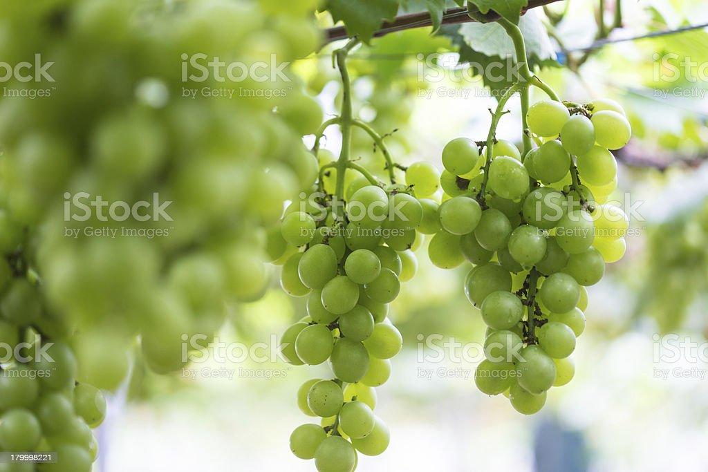 잘 익은 포도 in the Vineyards royalty-free 스톡 사진