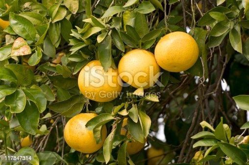 Grapefruit,