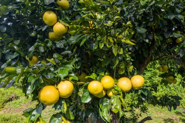 Reife Grapefruits auf einem Baum – Foto