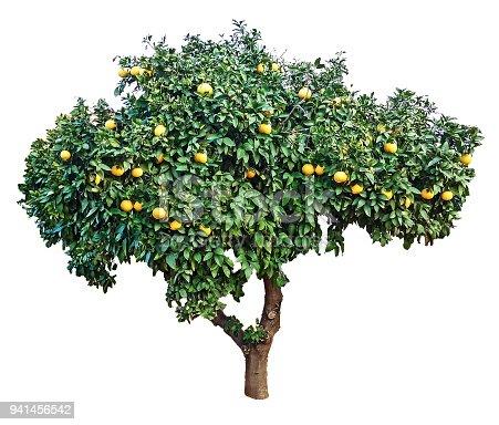 Ripe grapefruits on tree