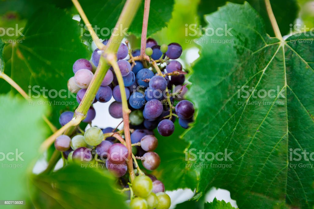 Ripe Grapes Behind Leaf stock photo