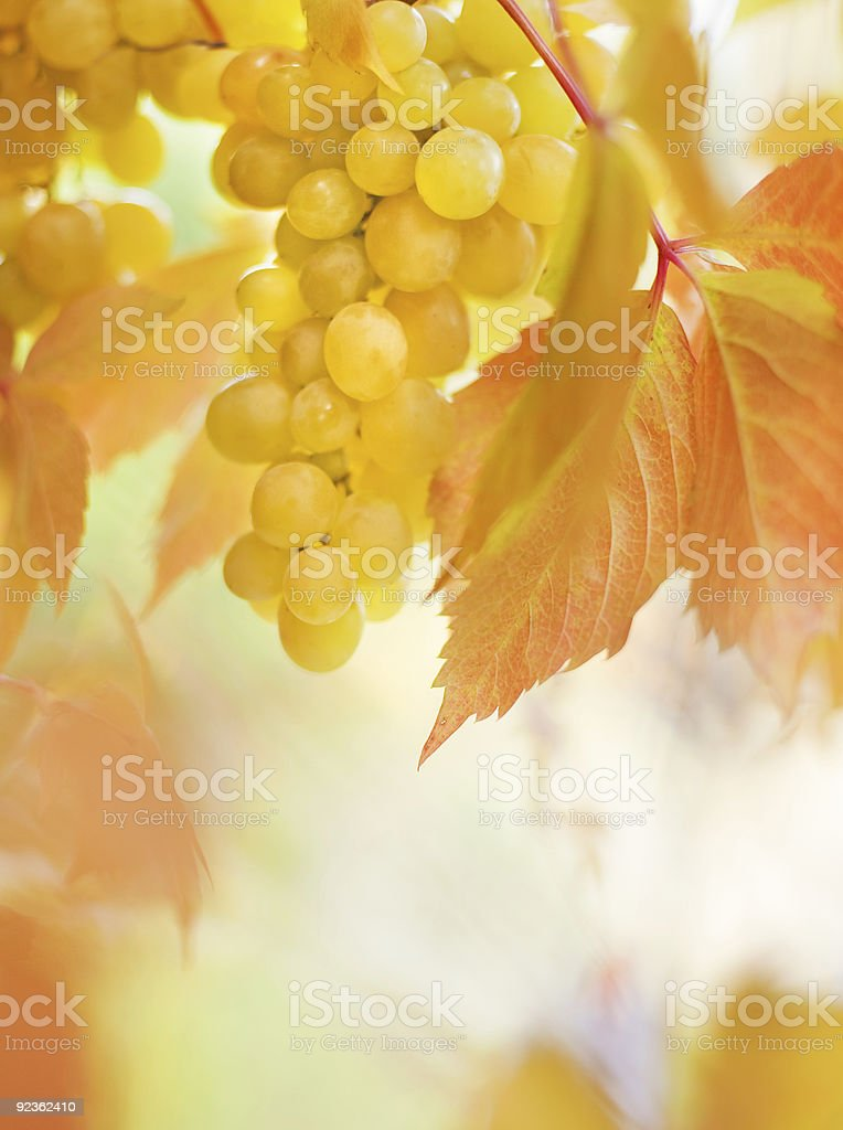 Ripe grapes close-up shot royalty-free stock photo