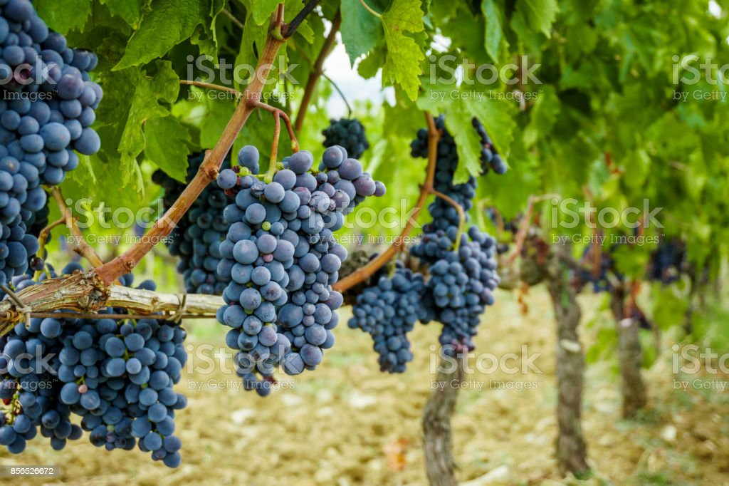 Ripe grapes in fall. autumn harvest. stock photo