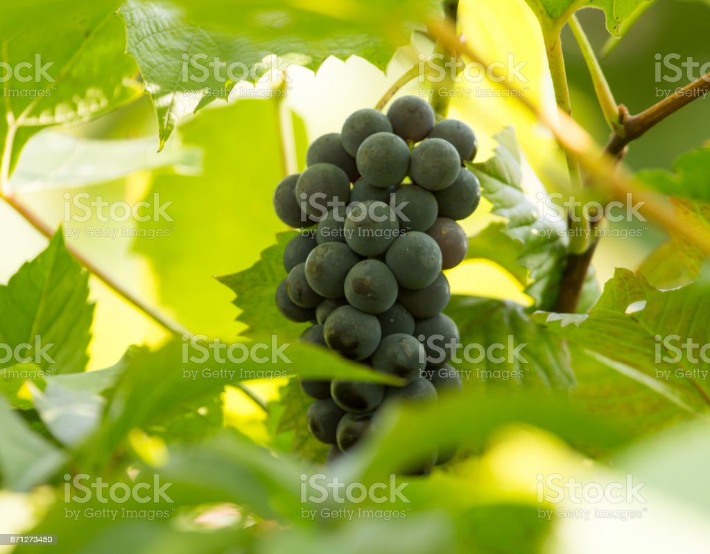 ripe grapes in the garden in nature stock photo