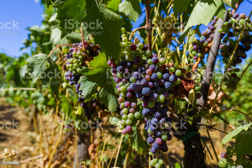 Ripe grapes in the Tuscany Italy stock photo