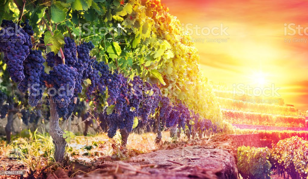 Ripe Grapes In Vineyard At Sunset - Harvest stock photo