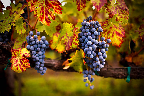ripe grapes ripe cabernet grapes ready for harvest cabernet sauvignon grape stock pictures, royalty-free photos & images