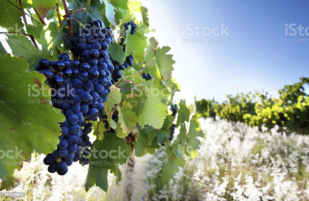 Ripe grapes A bunch of ripe red Cabernet Sauvignon grapes on the vine in early morning light. South african wine region. Agriculture Stock Photo