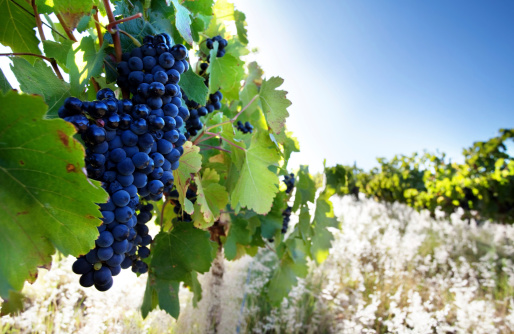 Ripe Grapes Stock Photo - Download Image Now