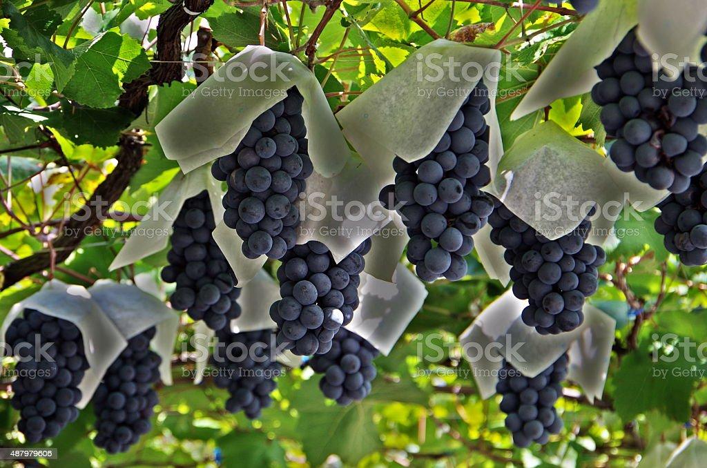 熟したブドウ ロイヤリティフリーストックフォト