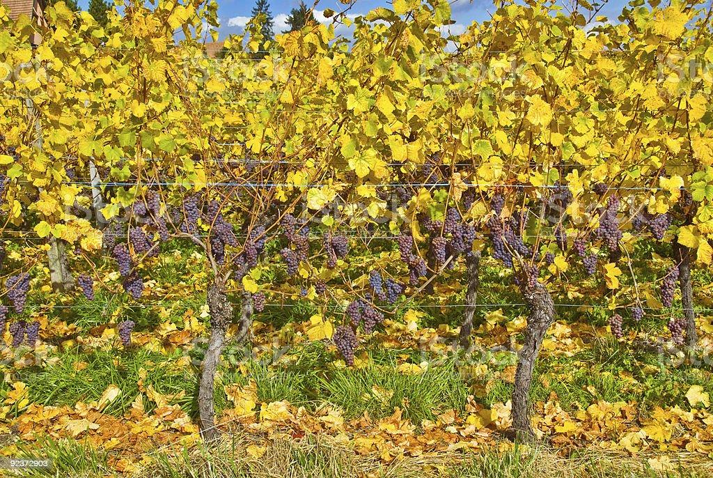 Ripe Grapes royalty-free stock photo