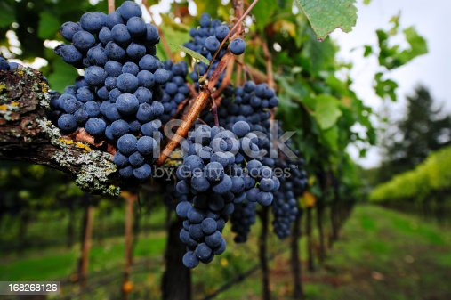 Clusters of ripe merlot grapes just before fall harvest.  Image taken in a vineyard in Northern California.  Very shallow DOF.