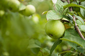 Ripe green apple on a branch with leaves in the garden. Harvest fruit apple tree. Green fruit background.