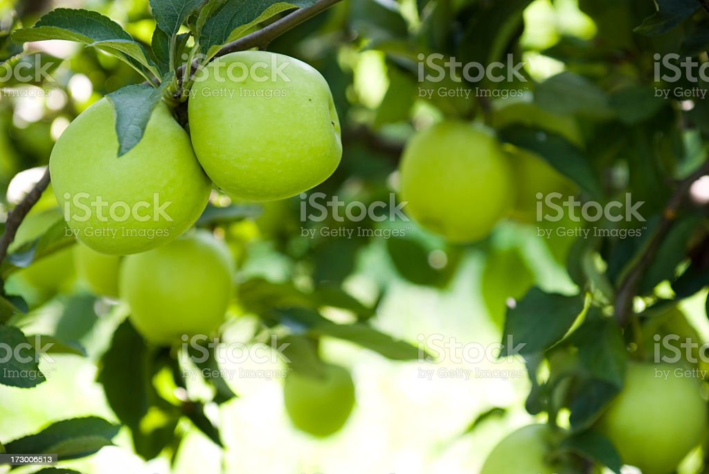 Ripe green apples at an orchard stock photo