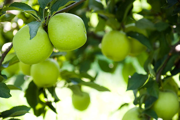 Ripe green apples at an orchard Apples hanging from an apple tree in an orchard. apple orchard stock pictures, royalty-free photos & images