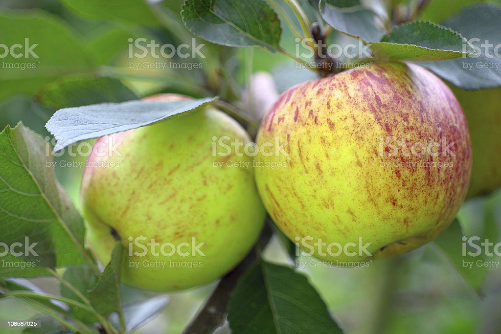 Ripe green English apples, growing on  tree royalty-free stock photo