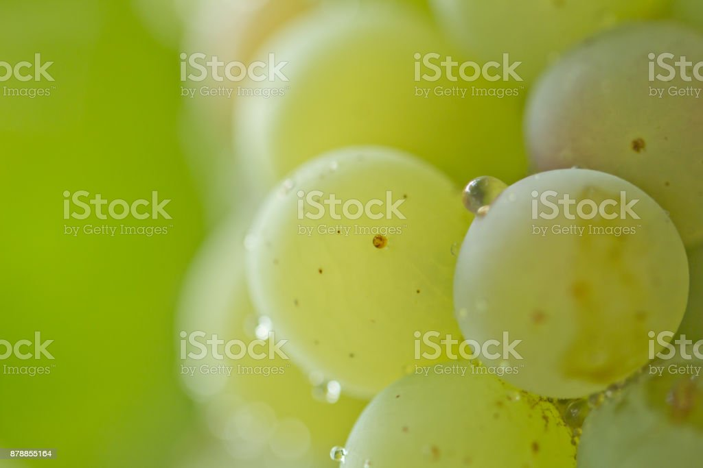 ripe green grapes in nature. macro stock photo