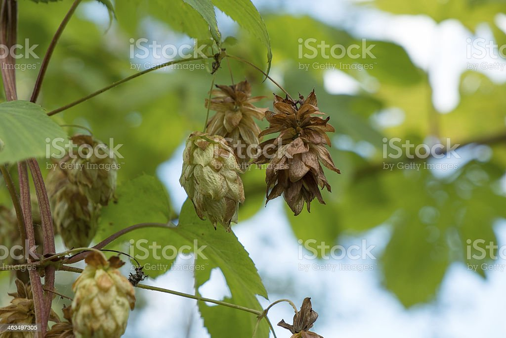 Ripe hop cones royalty-free stock photo