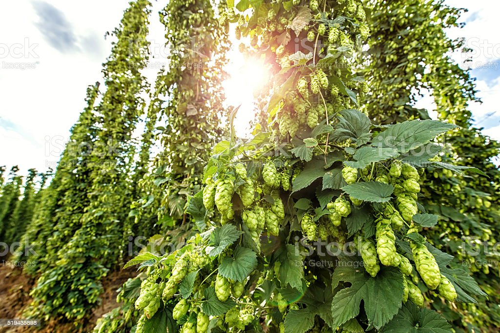 Ripe hops with sunlight stock photo