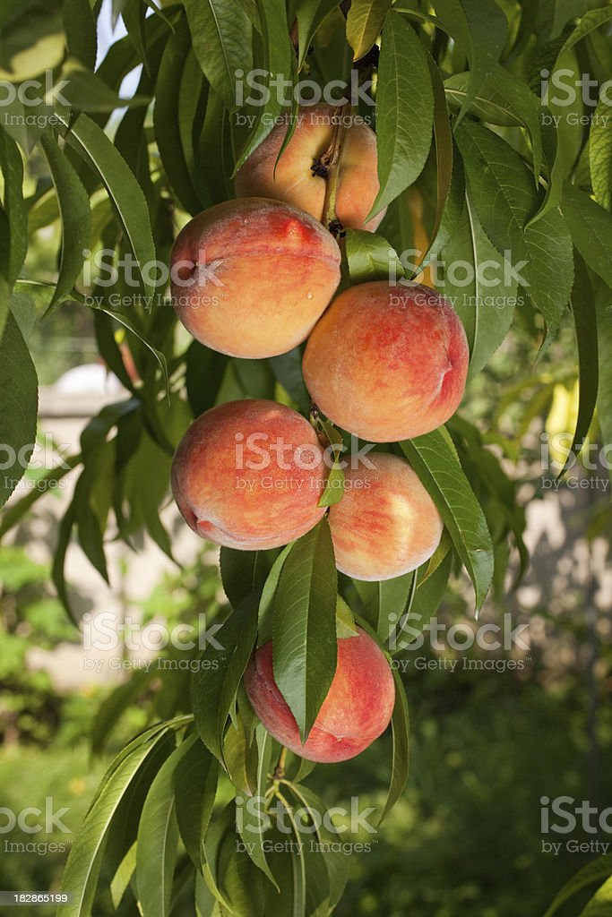 Ripe juicy red peaches stock photo