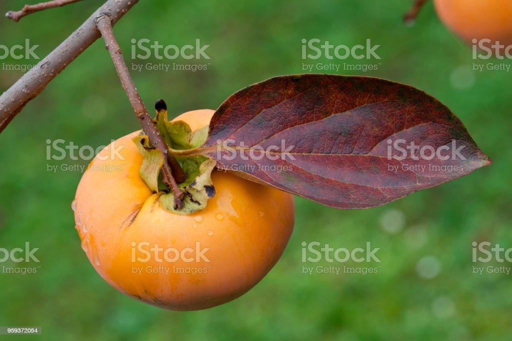 Ripe Kaki Fruit stock photo