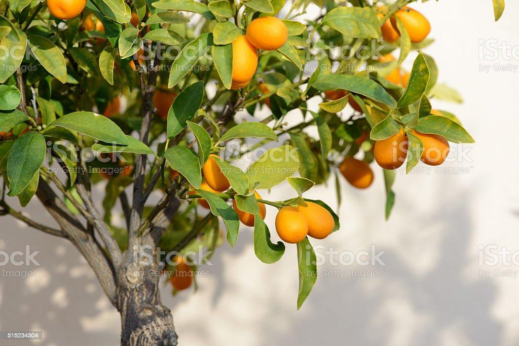 Ripe Kumquat Fruit on Small Tree stock photo