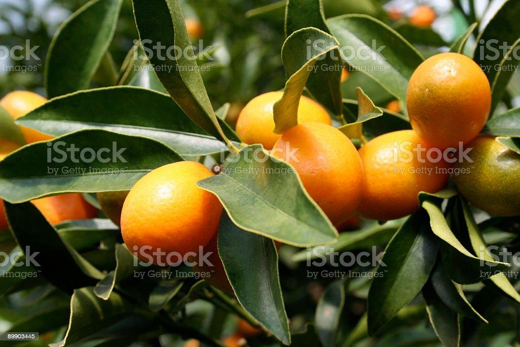 Reife Kumquats Lizenzfreies stock-foto