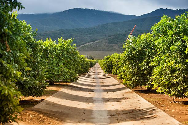 reife zitronen und limonen citrus grove - wäldchen stock-fotos und bilder