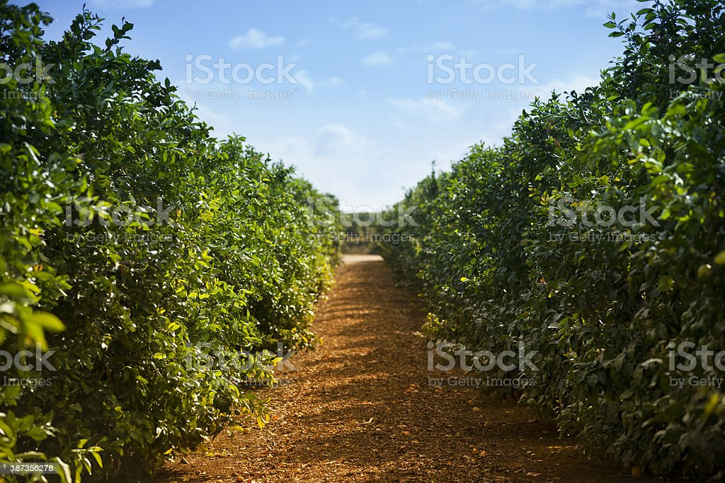 Ripe lemon and lime citrus grove stock photo