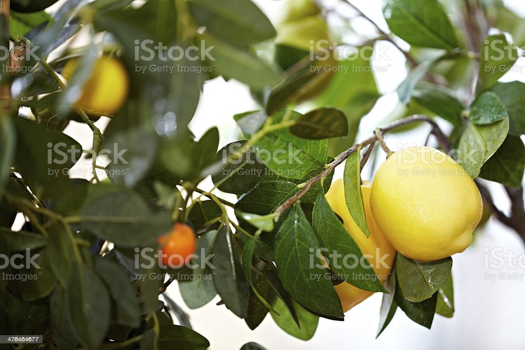 Ripe lemons royalty-free stock photo