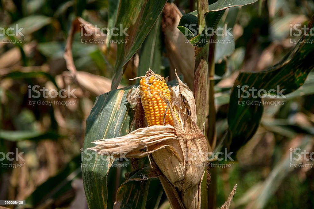 ripe maize in the field royalty-free stock photo