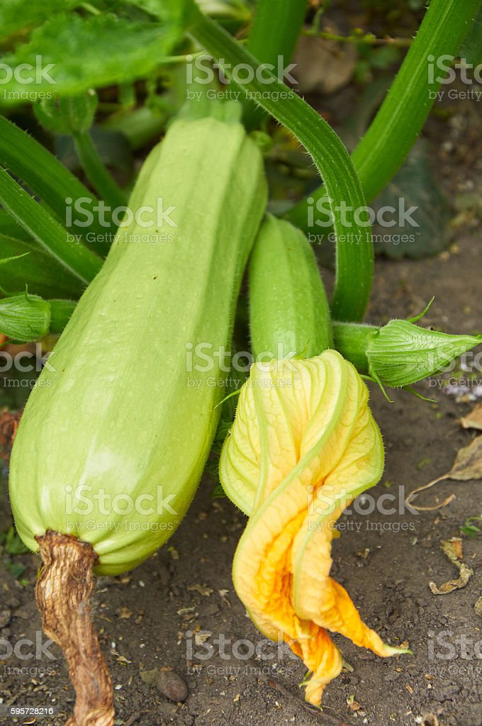 Ripe marrow and ovary with flower stock photo