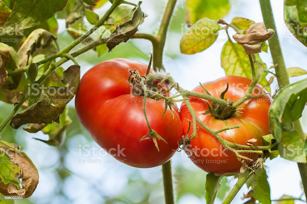 Ripe natural tomatoes growing on a branch  vegetable garden   sunny royalty-free stock photo