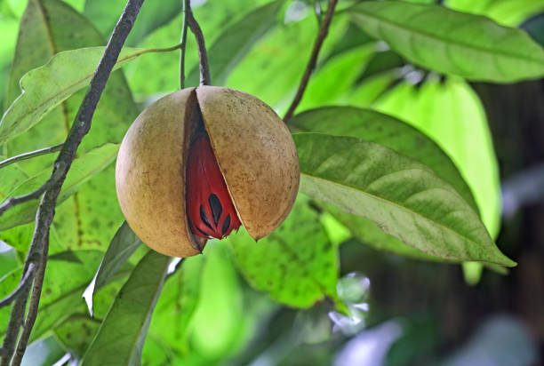 Ripe Nutmeg in Tree Fully ripe and split nutmeg seed hanging in tree in Kerala, India. Nutmeg is a tropical spice that delivers two distinct flavors. Genus is Myristica. nutmeg stock pictures, royalty-free photos & images