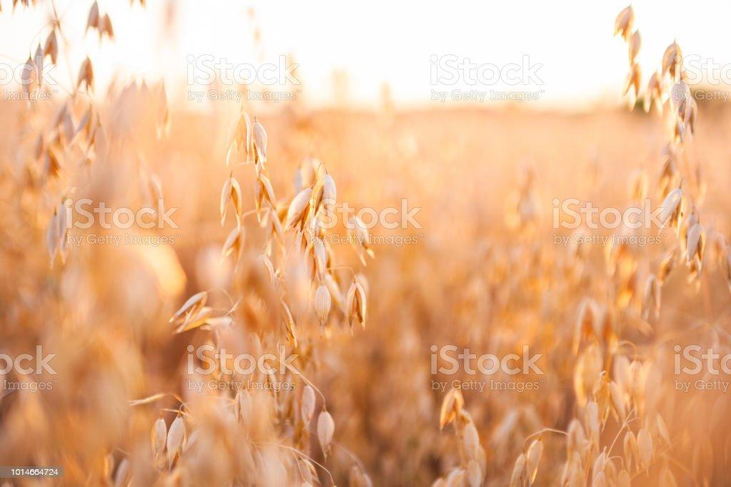 Ripe Oat Field In Summer Sunset - Royalty-free Agricultura Foto de stock