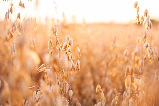 Ripe Oat Field In Summer Sunset - Fotografias de stock e mais imagens de Agricultura