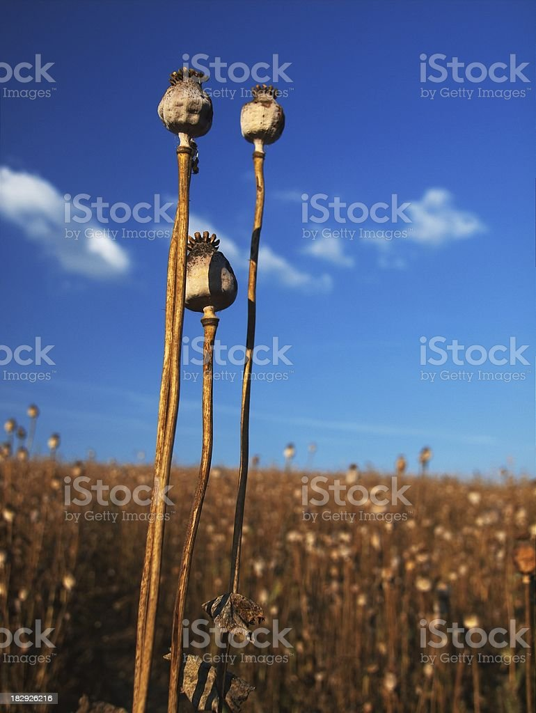 Ripe opium poppy royalty-free stock photo