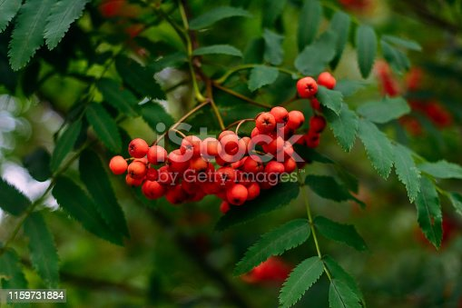 istock ripe orange berries of ash on a branch 1159731884