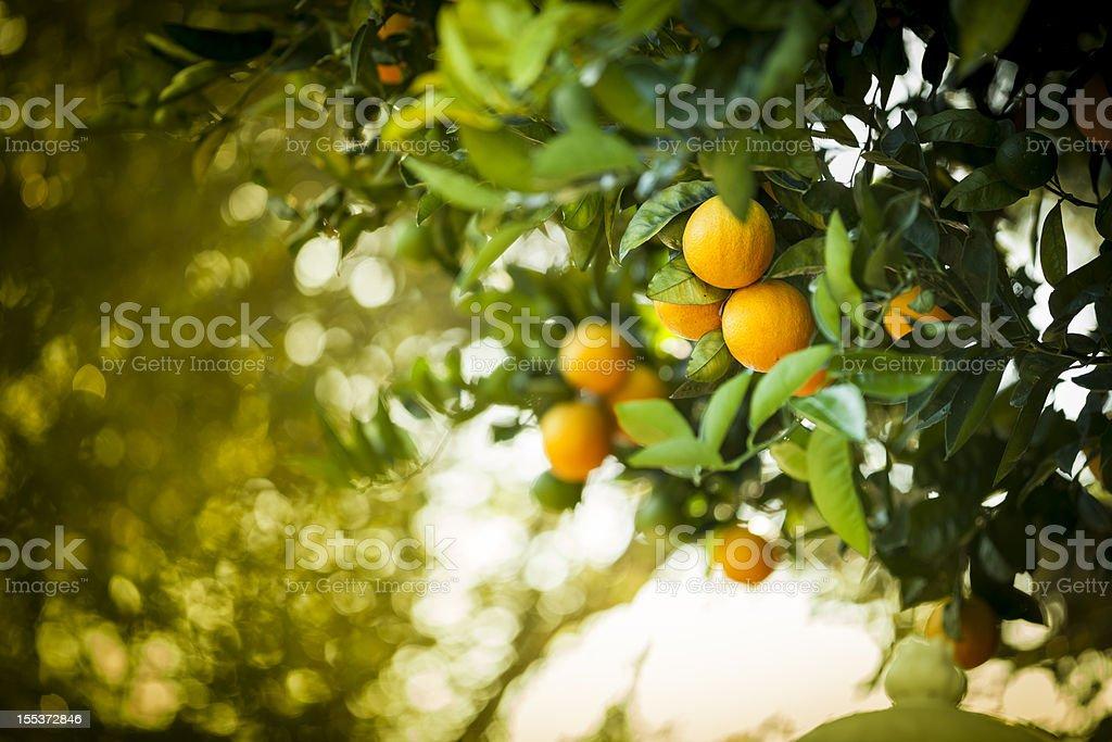 Ripe orange citrus grove stock photo