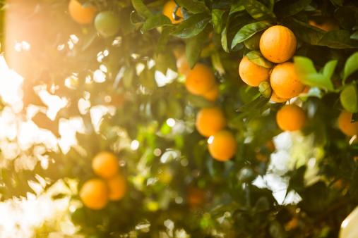 Ripe orange citrus grove