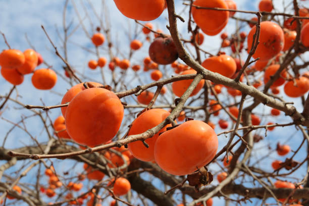 ripe orange korean persimmons on the tree in autumn - diospiro imagens e fotografias de stock