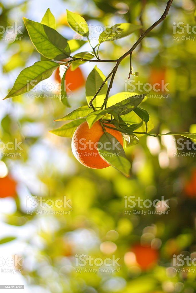Ripe Orange On A Tree Close-Up royalty-free stock photo