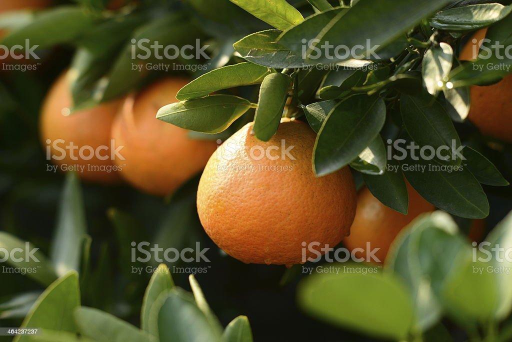 Maduro orange en un árbol - foto de stock