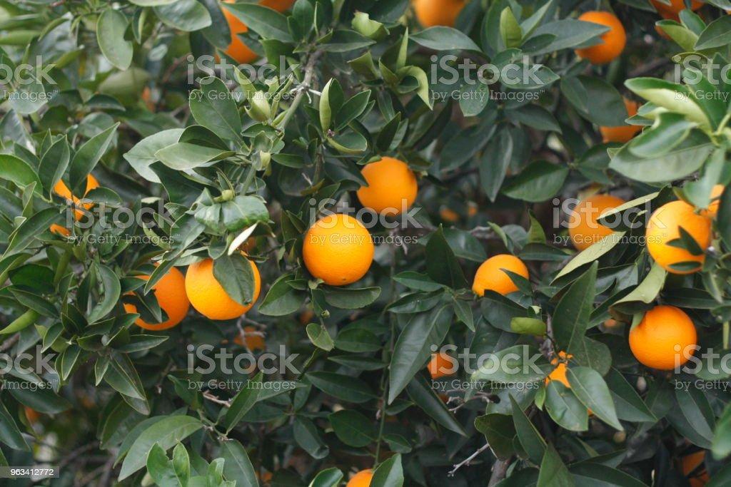 Dojrzałe pomarańczowe pomarańcze na drzewie na farmie w wiejskiej Australii - Zbiór zdjęć royalty-free (Australia)