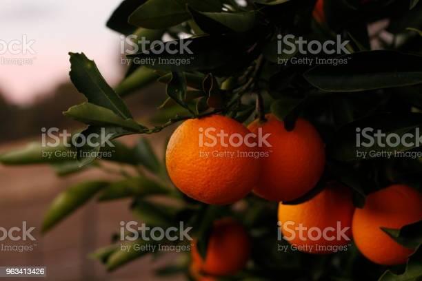 Dojrzałe Pomarańczowe Pomarańcze Na Drzewie Na Farmie W Wiejskiej Australii - zdjęcia stockowe i więcej obrazów Australia