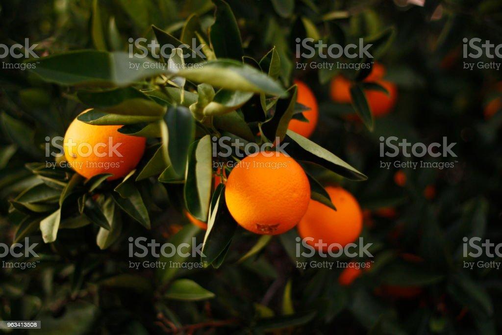 Oranges orange mûres sur un arbre dans une ferme en Australie rurale - Photo de Agriculture libre de droits