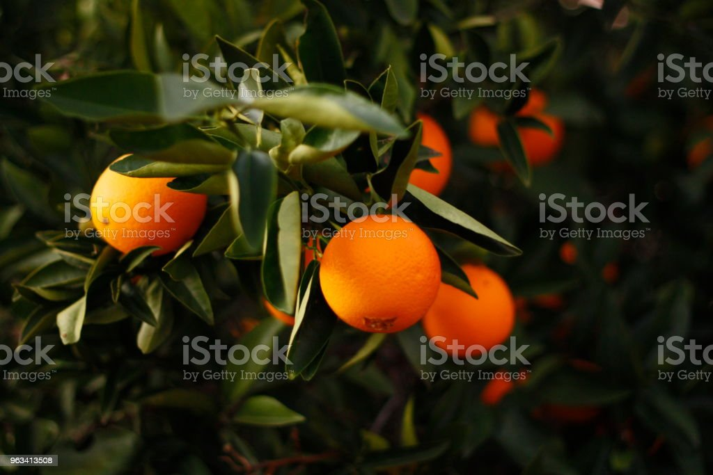 Ripe orange oranges on a tree on a farm in rural Australia - Zbiór zdjęć royalty-free (Australia)