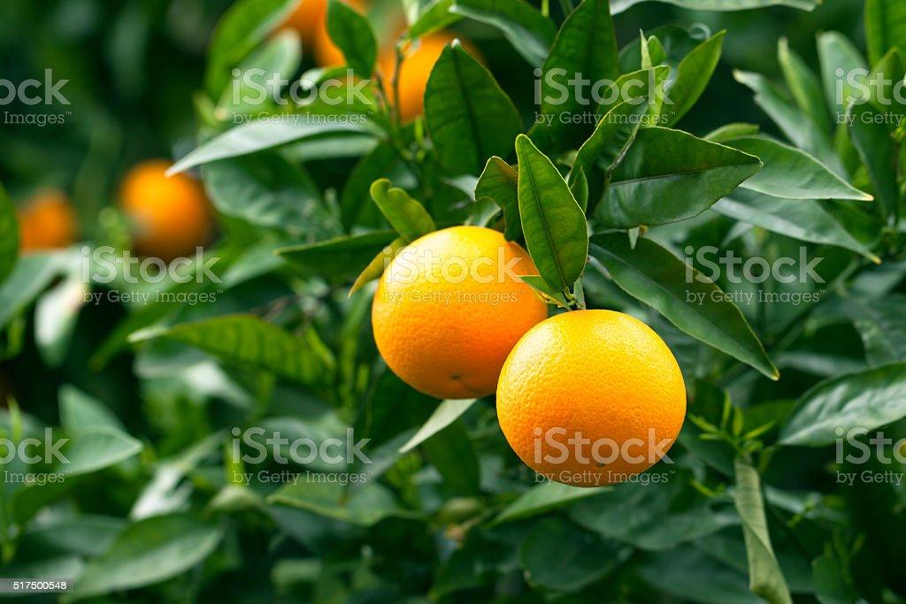Maturi appesi su un albero di arance - foto stock